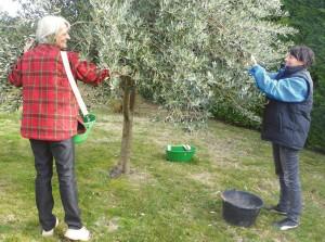 Gout-saveur-tradition-Rasteau2015- cueillette-des-olives 02
