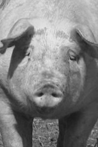 Salon-Saveur-Gourmandises-le-tue-cochon