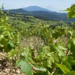 Raisins et  Géant de Provence