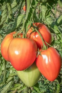 Gout-saveur-tradition-tradition-la-tomate-1